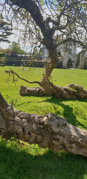 mulberry trees in st fagen s castle garden